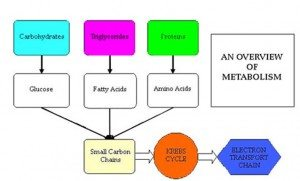 Simplified metabolism